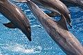 Blue Horizons Dolphin show (8803751542).jpg