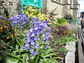 Bluebells in Shanklin High Street.JPG