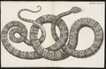 Boa hortulana - 1734-1765 - Print - Iconographia Zoologica - Special Collections University of Amsterdam - UBA01 IZ11900073.tif