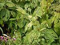 Boehmeria macrophylla (5086209727).jpg