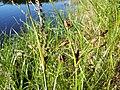 Bolboschoenus yagara sl5.jpg