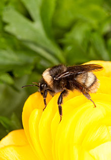 Bombus occidentalis.jpg