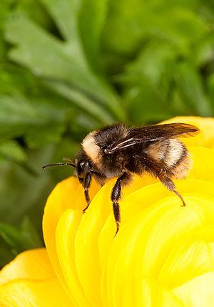 Bombus occidentalis - Image: Bombus occidentalis