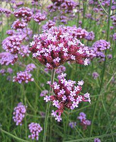 Verbena bonariensis wikipedia - Planter de la verveine ...