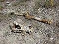 Bones at Gran Mondo - panoramio.jpg
