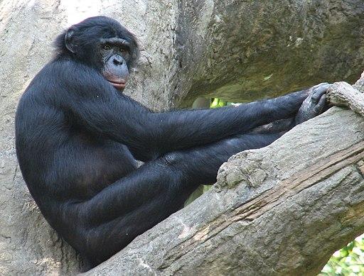 Bonobo cincyzoo