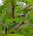 Boomslang (Dispholidus typus) female - Flickr - berniedup (1).jpg