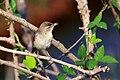 Booted Warbler (Iduna caligata) ചിന്നൻ ഭേരി. (32641228266).jpg