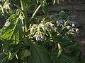 Borago officinalis-201208-Pragsdorf-image03.JPG