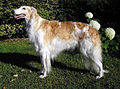 Borzoi female.jpg