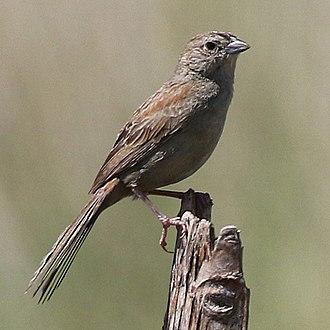 Matteo Botteri - Botteri's sparrow