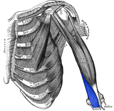 musculus brachialis