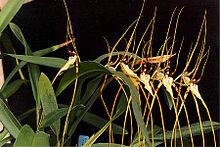 Brassia arcuigera