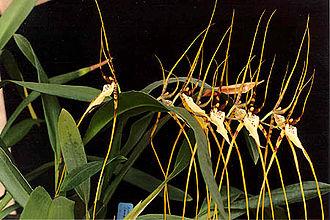 Brassia - Brassia arcuigera