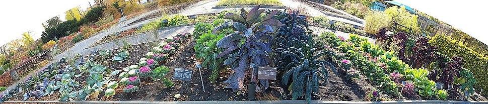 Brassica-garden
