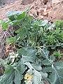 Brassica . oleracea L. (AM AK360625-3).jpg
