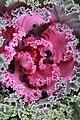 Brassica Nagoya Rose 0zz.jpg