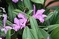 Brassolaeliocattleya Lavender Doll 3zz.jpg
