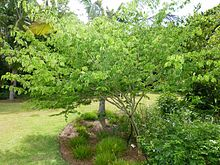 Brazilian rain tree - chloroleucon tortum - 4 (7537144616).jpg