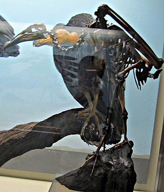 New World vulture - Fossil of the extinct Breagyps clarki