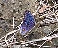 Brilliant Blue, Junonia rhadama male - Flickr - gailhampshire.jpg