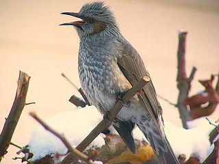 Bulbul family of birds