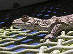 Brown Gecko 02.jpg