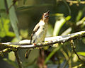 Brown barbet calling - Lip Kee.jpg