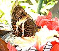 Brown speckled butterfly KL.jpg