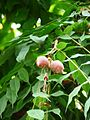 Brownea coccinea8.jpg