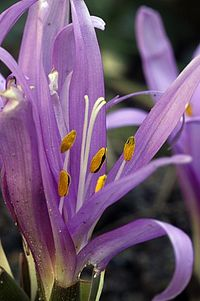 Bulbocodium vernum.jpg