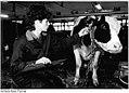 Bundesarchiv Bild 183-1988-0407-021, Lübtheen, Bäuerin im Stall.jpg
