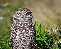 Burrowing Owl (43180861545).jpg