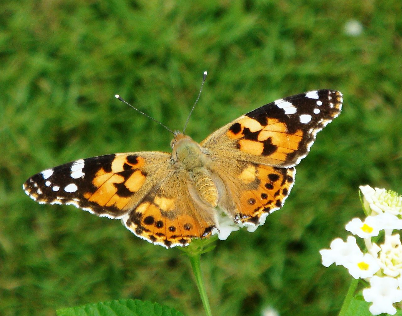 Painted Lady Butterflies Emerged Will Theychange Colour