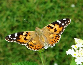 Butterflies of Kerala Painted Lady.JPG