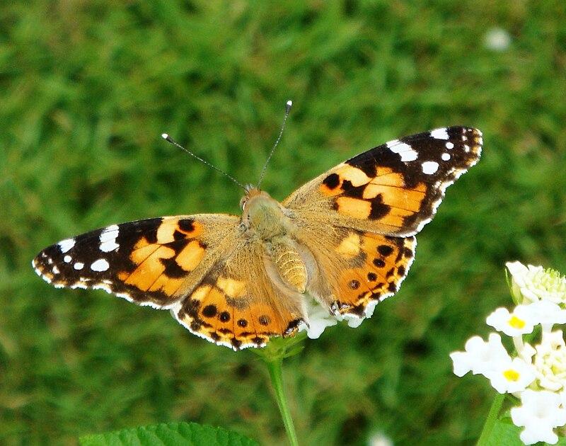 Bộ sưu tập cánh vẩy 6 - Page 11 800px-Butterflies_of_Kerala_Painted_Lady