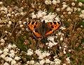 Butterfly, Upton House gardens - geograph.org.uk - 1566047.jpg