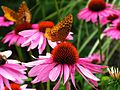 Butterfly-Purple-Cone-Flowers ForestWander.jpg