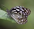 Butterfly 26 (4872440156).jpg