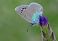 Butterfly Green-underside Blue - Glaucopsyche alexis 3.JPG