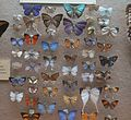 Butterfly collection at Booth Museum 2.JPG