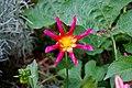 CBG star flower 0114.jpg