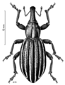 COLE Curculionidae Lyperobius townsendi.png
