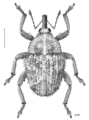 COLE Curculionidae Trichosirocalus horridus.png