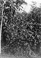 COLLECTIE TROPENMUSEUM 'Hennep (Hibiscus cannabinus) en roselle (Hibiscus sabdariffa) de hennep bloeit na 25 maand terwijl de Roselle na 7 maanden gaat bloeien' TMnr 10011393.jpg