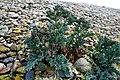 CRAMBE MARITIMA. (Chou marin). sillon de Talbert. 21-04-2007.jpg