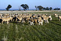 CSIRO ScienceImage 1944 Sheep and Lambs in Paddock.jpg
