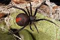 CSIRO ScienceImage 3797 A Redback Spider.jpg