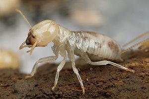 Mastotermes darwiniensis - Image: CSIRO Science Image 3915 Mastotermes darwiniensis Giant Northern Termite