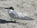Cabot's Tern (Thalasseus acuflavidus) RWD1.jpg